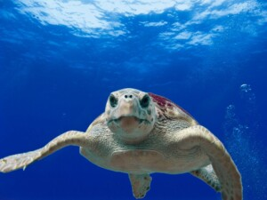 Turtle washed up on Irish beach gets VIP treatment and relocates to Gran Canaria.